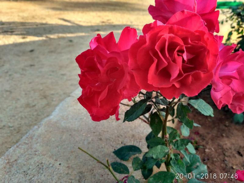 Flower Nature Petal Beauty In Nature Red Rose - Flower Flower Head