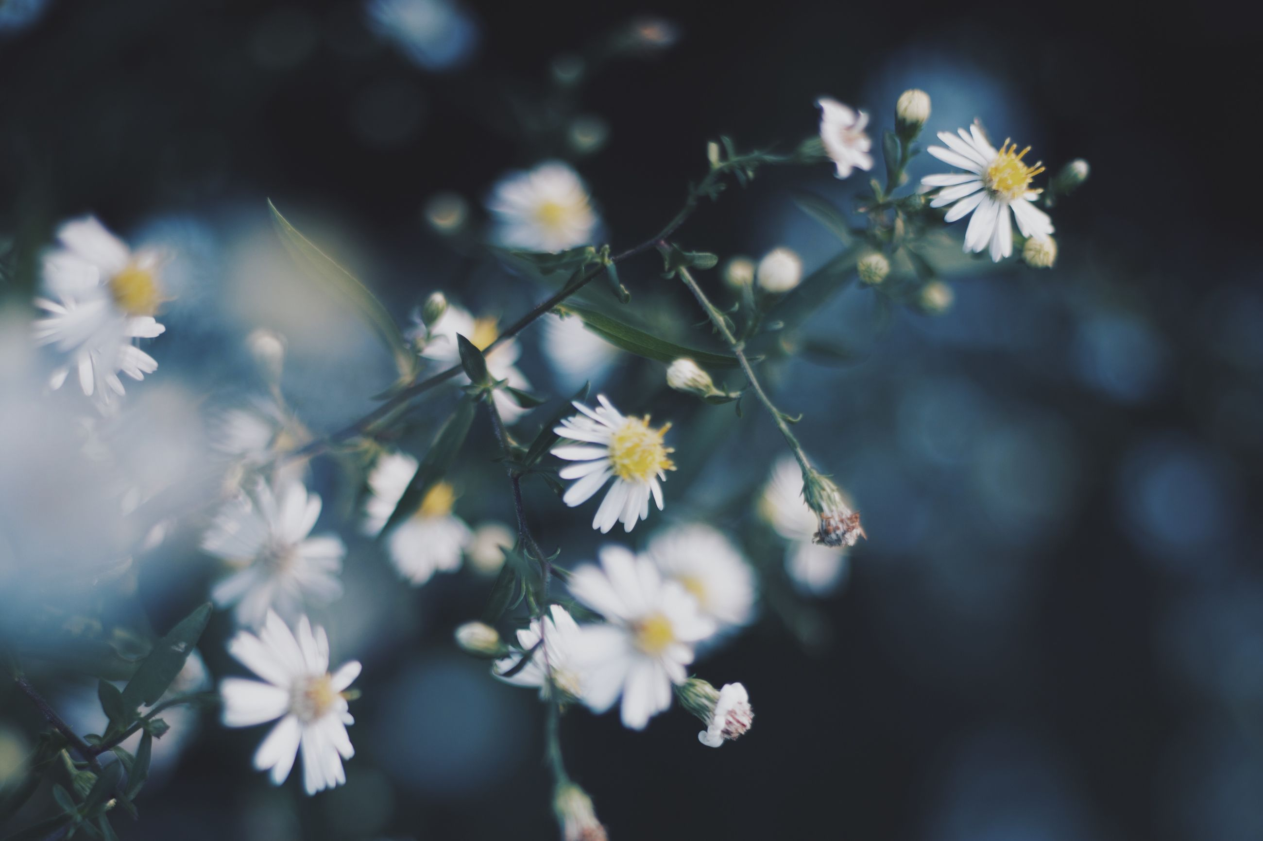 flower, freshness, petal, fragility, white color, growth, flower head, beauty in nature, focus on foreground, blooming, nature, close-up, in bloom, plant, pollen, blossom, daisy, selective focus, stem, white
