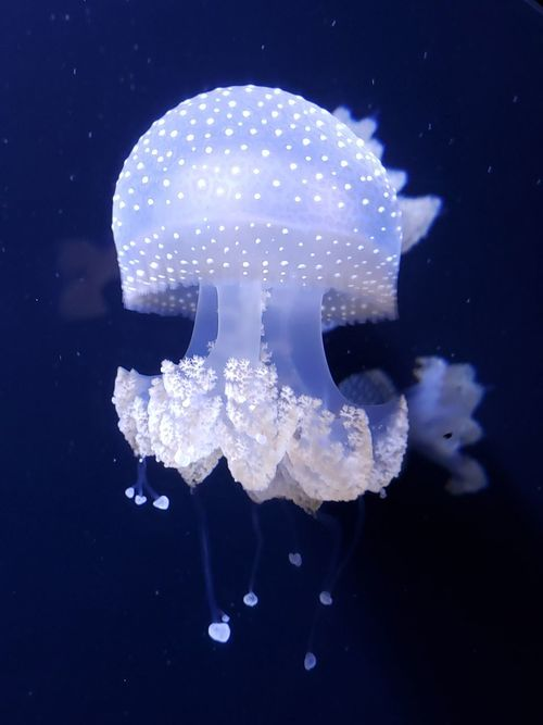 Beautiful Jellyfish Cool Jelly Fish Amazing Jellyfish UnderSea Jellyfish Underwater Sea Life Close-up