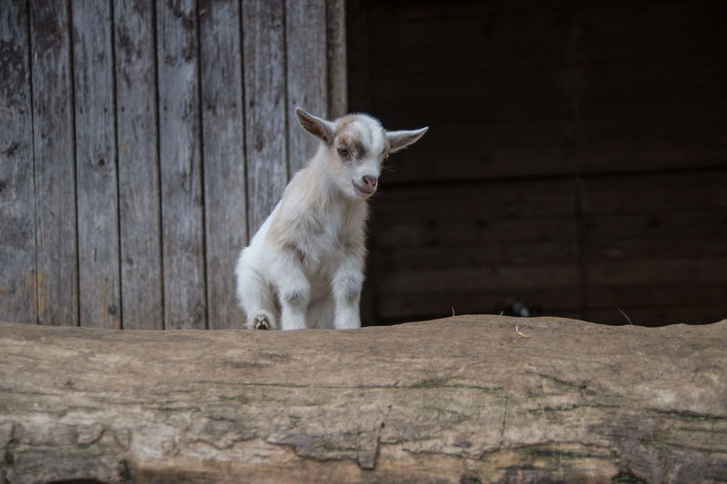 Farm Farm Life Goat Animal Animal Themes Day Domestic Animals Farmyard Kid Little Mammal No People One Animal Outdoors Yeanling