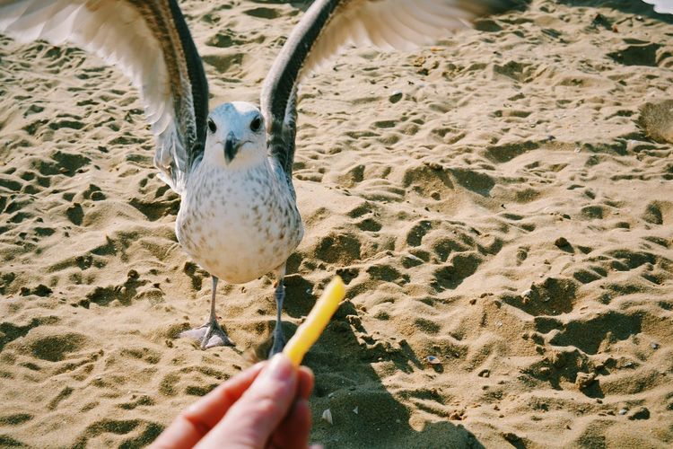 High angle portrait of seagull on sand in front of cropped hand holding french fries