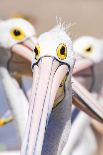 close up portrait of a pelican Bird Animal Vertebrate Animal Themes No People Close-up Animal Wildlife Beak Animals In The Wild One Animal Yellow Focus On Foreground Day Selective Focus Animal Body Part Animal Representation Outdoors Representation Animal Head  My Best Photo