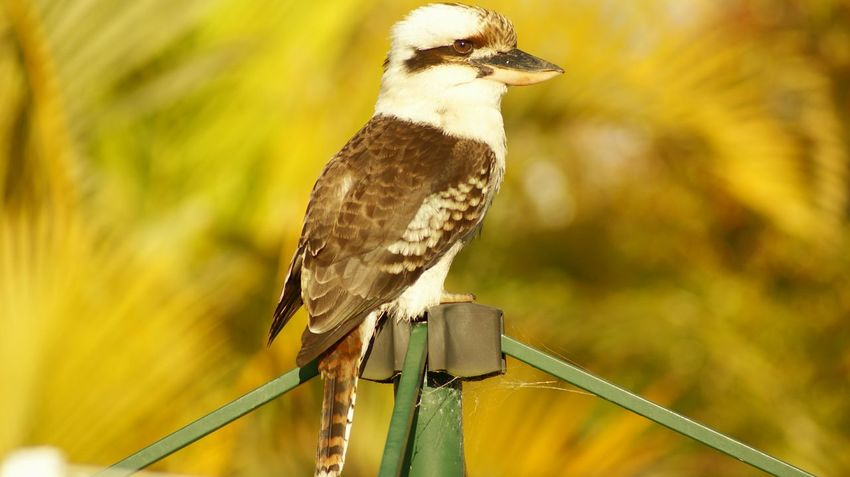 Animal Themes Bird Animals In The Wild One Animal Perching Wildlife Focus On Foreground Australia & Travel Kookaburra Native Bird Native Bird Of Australia Gettyimages The Great Outdoors - 2017 EyeEm Awards EyeEm Selects