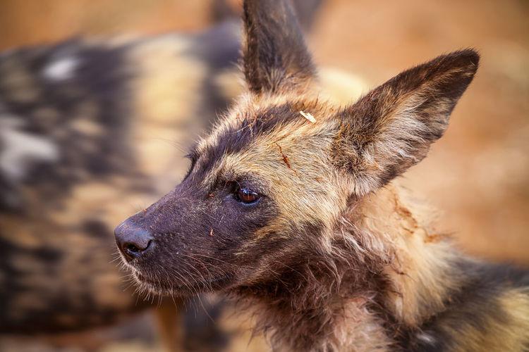 Close-up of hyena looking away outdoors