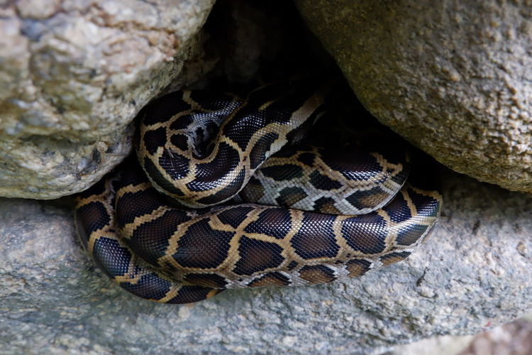 Python reticulatus Python Reticulatus Reticulated Python Animal Animal Body Part Animal Head  Animal Markings Animal Scale Animal Themes Animal Wildlife Animals In The Wild Boat Close-up Natural Pattern Nature No People One Animal Poisonous Reptile Rock Rock - Object Snake Solid Tree Vertebrate Zoo
