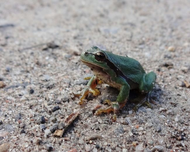 Frog Frosch Laubfrosch Animal Hylaarborea Closeupshot Nature Photography Amphibian Photography Animals In The Wild