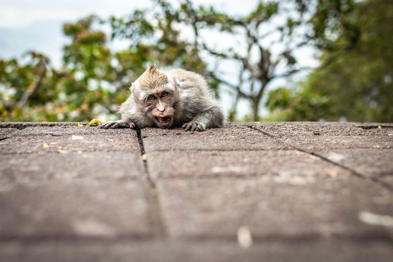 Wild monkey Vacation Time Traveling Tourism Tourist Bali, Indonesia Bali Wild Wildlife Monkey Mammal One Animal Animals In The Wild Animal Wildlife No People Vertebrate Day Nature Selective Focus Outdoors Portrait Transportation Looking At Camera Focus On Foreground Road Tree Retaining Wall