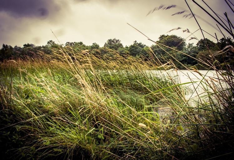 Sky Grass Growth Field Tranquil Scene No People Rural Scene Plant Nature Tranquility Outdoors Day Agriculture Cloud - Sky Landscape Growth EyeEm Best Shots Northern Ireland Fermanagh Lusty Beg EyeEmBestPics Eye4photography  Beauty In Nature Scenics Tree