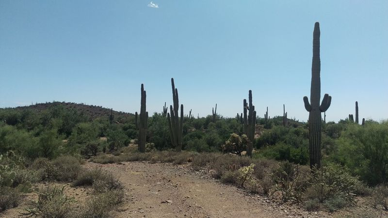 Arizona Arid Climate Beauty In Nature Cactus Clear Sky Day Desert Growth Landscape Nature No People Outdoors Plant Saguaro Cactus Scenics Sky Tranquility Tree