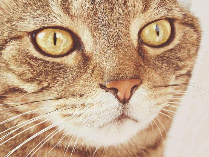 Cat Happy Eyes кот котэ няша прелесть шерсть усы пупсик няша глаза