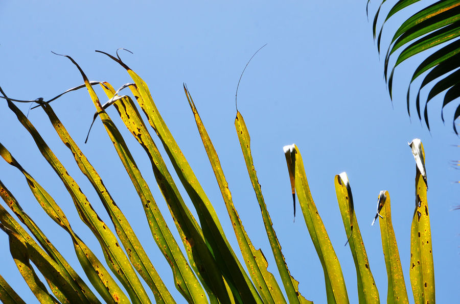 Beauty In Nature Blue Botany Clear Sky Close-up Fragility Fronds Green Green Color Growing Growth Nature Outdoors Palm Frond Palm Leaf Plant Sharp Stem Tranquility Yellow