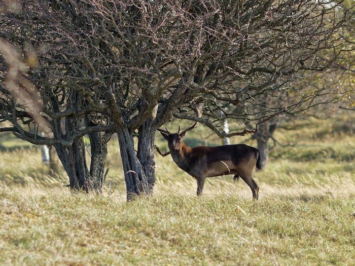 Watcha looking at? Dark Buck Dunes Of Holland Fallow Deer Testosterone In The Shadows Animal Themes Animal Mammal Animals In The Wild Animal Wildlife Plant Field Beauty In Nature Nature Tree Deer