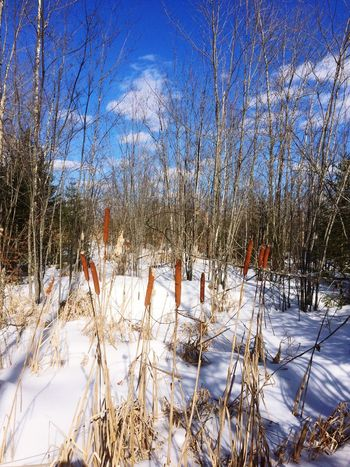 Cold Temperature Winter Snow Nature Beauty In Nature Weather Maine Cattails Winter Nature Growth Tranquility Tree Tranquil Scene Bare Tree Growth Field No People Outdoors Day Scenics Frozen Sky Landscape