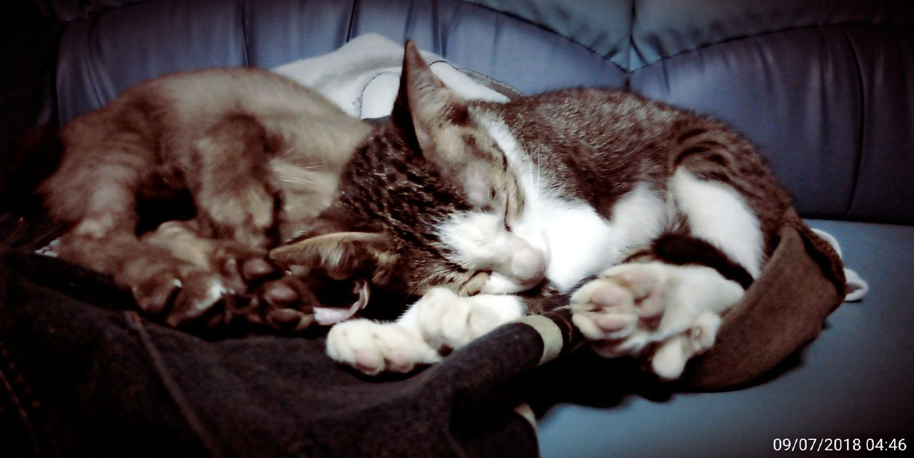 pets, domestic cat, domestic, cat, feline, domestic animals, animal themes, mammal, relaxation, one animal, animal, vertebrate, indoors, resting, sleeping, furniture, eyes closed, close-up, no people, lying down, whisker, napping