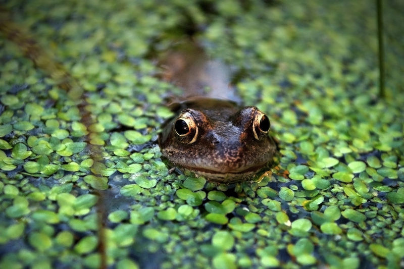 Amphibian Animal Animal Body Part Animal Eye Animal Head  Animal Themes Aquatic Life Beauty In Nature Close-up Day Duck Weed Focus On Foreground Frog Green Green Color In My Garden Nature No People Outdoors Plant Selective Focus Wildlife