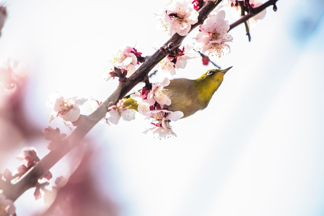 flower, fragility, beauty in nature, blossom, springtime, nature, tree, freshness, branch, growth, botany, no people, pink color, day, close-up, twig, apple blossom, plum blossom, outdoors, selective focus, low angle view, petal, clear sky, sky, blooming, flower head