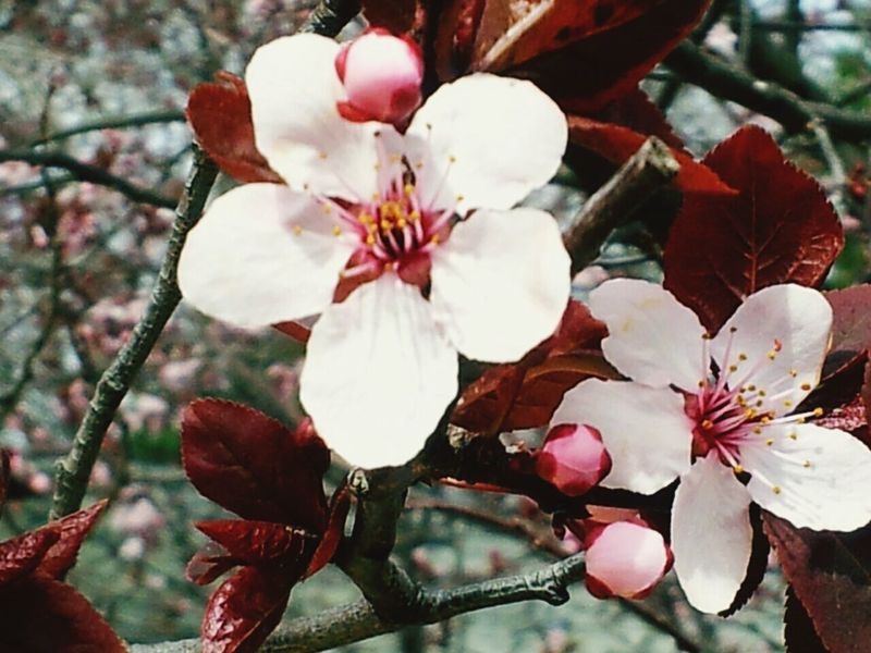 Spring Spring Flowers Spring Has Arrived Springblossoms AppleBlossoms Beauttiful Flowers Flowerporn Flower Flower Collection