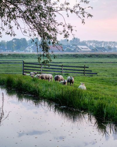 Sheep Garden Water Rice Paddy Rural Scene Occupation Working Agriculture Tree Rice - Cereal Plant Field Farm