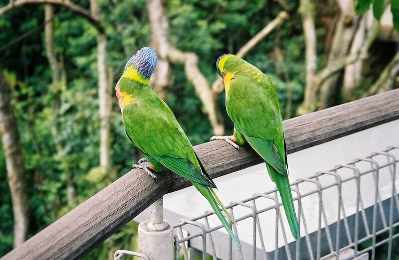 Singapore Zoo 2006 Animal Themes Streamzoofamily Parrots Birds Bird Photography Birds Of EyeEm  Animals Green Green Color Bird Perching Focus On Foreground Animal Wildlife Nature No People Outdoors Branch Wood - Material Beauty In Nature Adapted To The City Parrot Pair Zoology