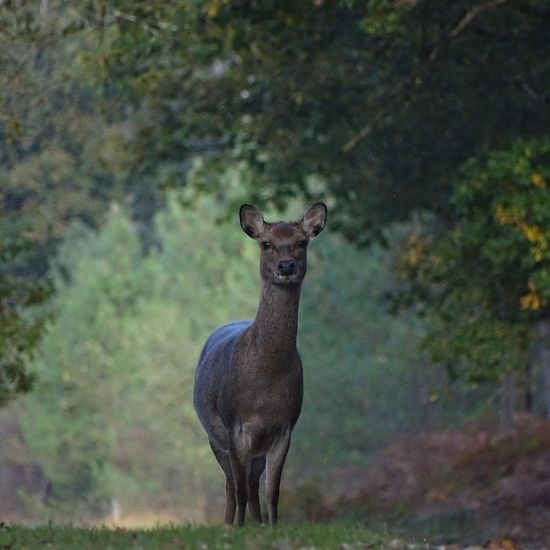 Animal Wildlife One Animal Looking At Camera Outdoors Tree Nature Beauty In Nature Animal Themes Day New Forest, Hampshire. UK New Forest National Park Tree Woods Woodlands Deersighting Deer Deer In The Wild Sika Deer Sikadeer