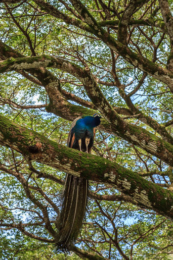 A Peacock perched in a big tree Hawaii Living Animal Animal Themes Animal Wildlife Animals In The Wild Beauty In Nature Big Tree Bird Branch Day Feather  Full Length Growth Live Low Angle View Nature No People One Animal Outdoors Peacock Perching Plant Tree Tree Trunk