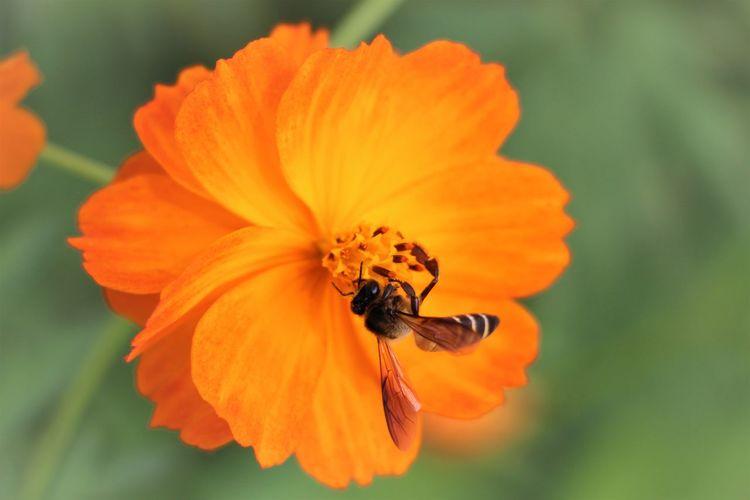 Close-up of bee on orange flower