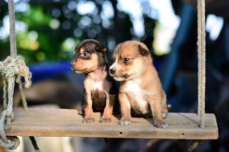 Two puppies on swing