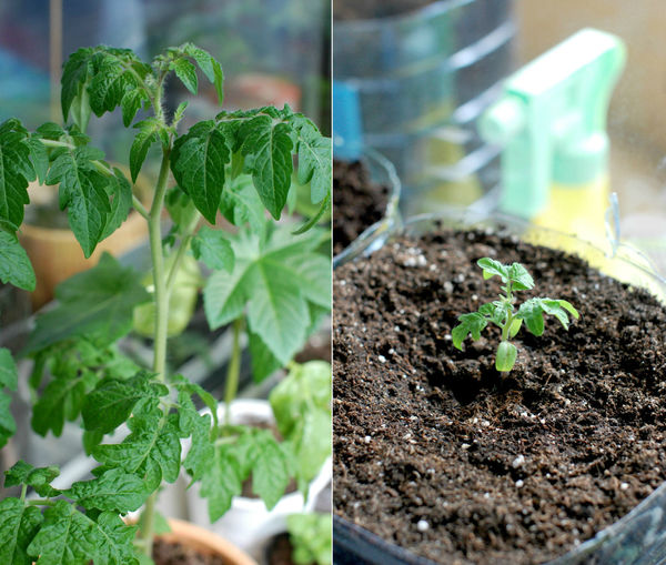 Image montage of potted tomato plants