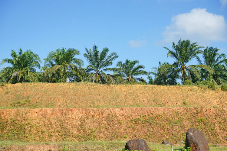 oil palm trees