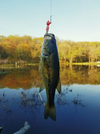 Smallmouth bass caught in a pond Pond Spring Water Freshwater EyeEm Selects Water Lake Fishing Trapped Fish Blue Reflection Sky Fishing Hook Catch Of Fish Hook Fisherman Fishing Tackle Standing Water