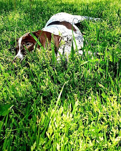 Portrait-2016 Eyeem Awards Gsp Germanshorthairedpointer Dogdaysofsummer Dogs Of EyeEm Pet Portraits