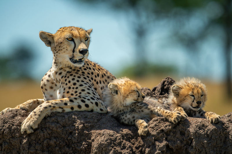 Cheetah with cubs lying on termite mound