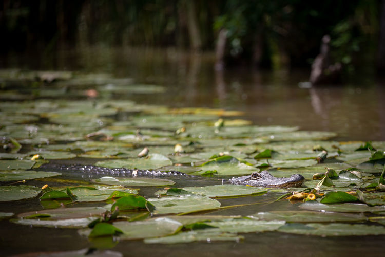 Lilly Sitting Swimming Tree Aligator Beauty In Nature Close-up Crocodile Focus On Foreground Green Color Growth Lake Leaf Leaves Lilly Pads Nature No People Plant Part Rain RainDrop River Scales Teeth Water Water Lily