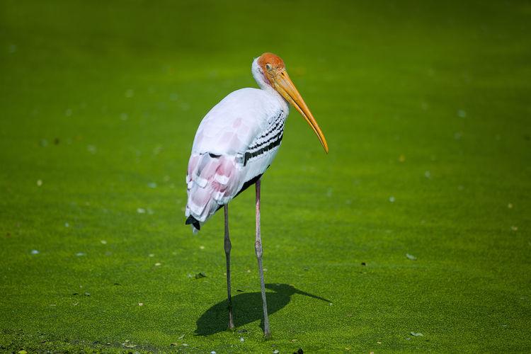 Stork standing on grass