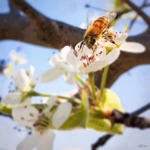 This curious bee followed me from tree to tree as I looked for some spring blossoms to shoot with my iPhone during my morning walk. Flower Nature Insect Bee Petal No People Close-up Pollination Springtime Outdoors Buzzing Beauty In Nature