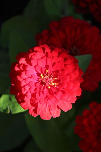 Zinniaflower Zinnia Flower Zinnias, Flowers Flower Petal Beauty In Nature Flower Head Fragility Growth Nature Freshness Blooming Focus On Foreground Close-up Red No People Plant Outdoors Zinnia  Day