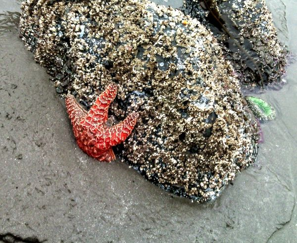 Starfish  Tide Pool Big Rock Barnicles Oh No!!