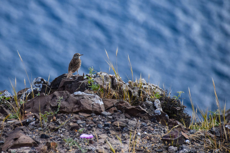 Berthelot's pipit Berthelot's Pipit Berthelots Pipit Porto Santo Animal Themes Animal Wildlife Animals In The Wild Beauty In Nature Bird Bird Of Prey Close-up Day Mammal Nature No People One Animal Outdoors Perching Porto Santo Island Rock - Object Water