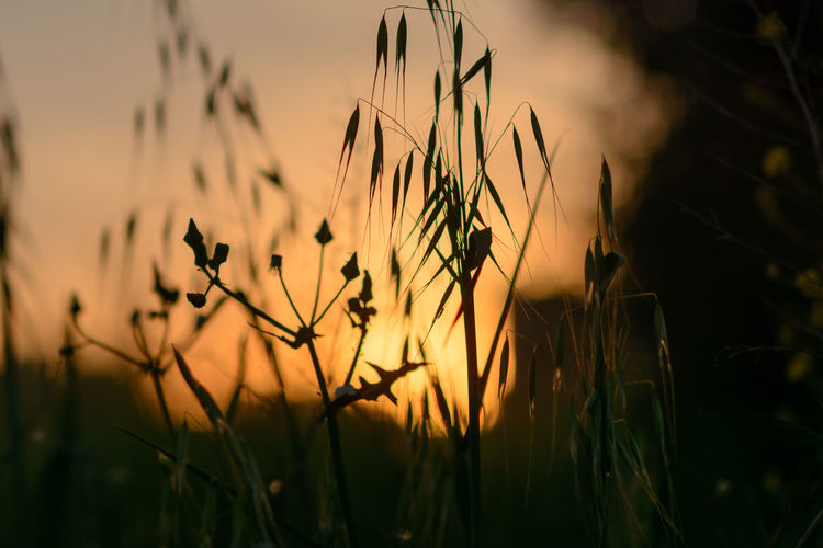 Close-Up Of Wheat Growing On Field Against Sky During Sunset