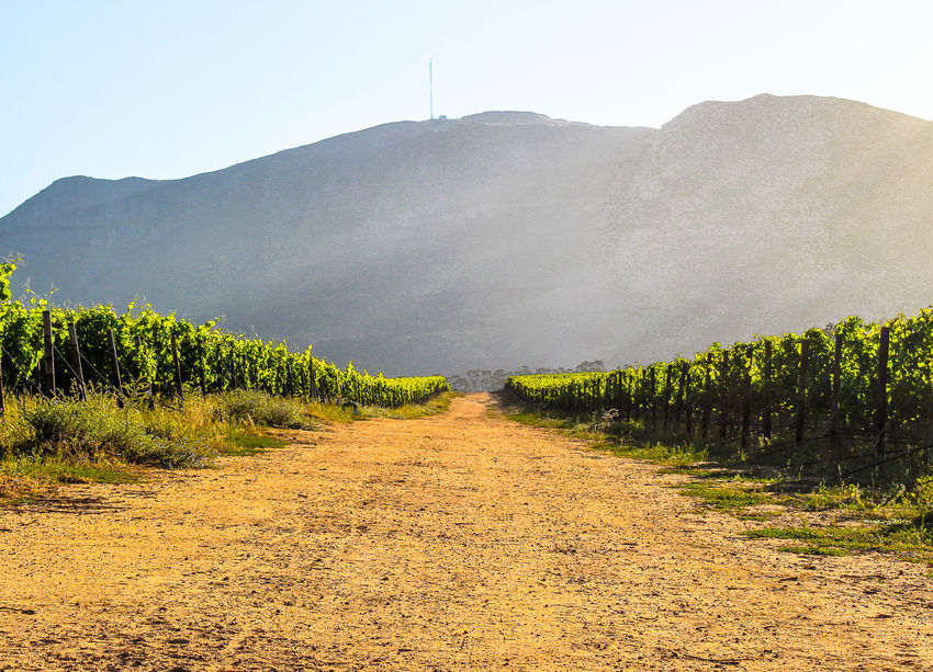 The vineyard dirt track. Agriculture Beauty In Nature Cape Toem Dirt Track Grape Light And Shadow Mountain Nature Outdoors Rays Of Light Sand Road Sand Road Sunset Vineyard Cultivation Wine