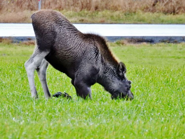 Elk Moose Moose! Wildlife & Nature Animal Themes Animal Wildlife Animals In The Wild Black Color Close-up Day Domestic Animals Full Length Grass Mammal Mammals Mammals, No People, Animal Theme Nature No People One Animal Outdoors Wildlife