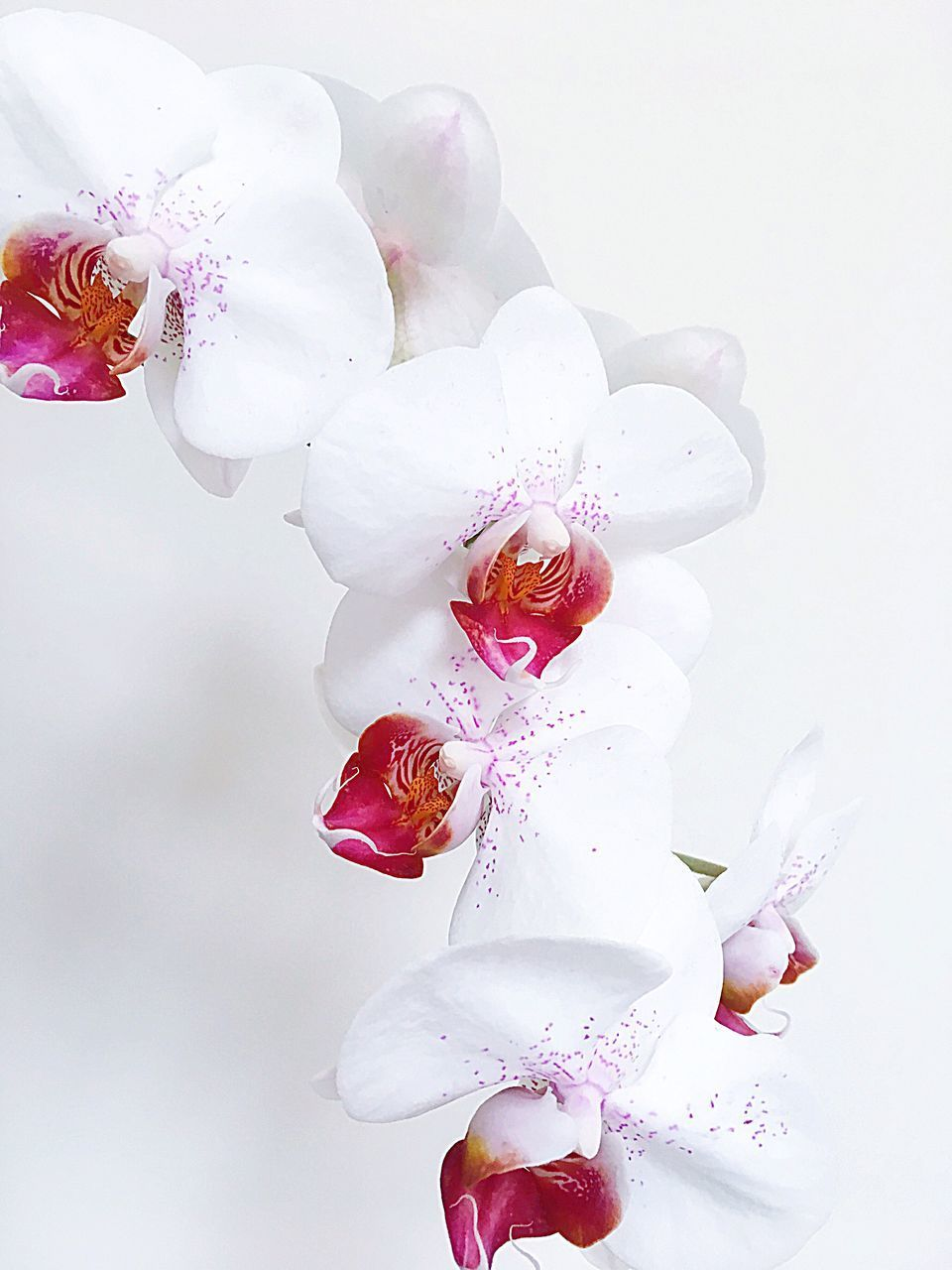 flowering plant, flower, fragility, plant, vulnerability, beauty in nature, freshness, petal, inflorescence, flower head, close-up, white background, studio shot, nature, no people, pollen, white color, growth, indoors, orchid, springtime, cherry blossom, flower arrangement