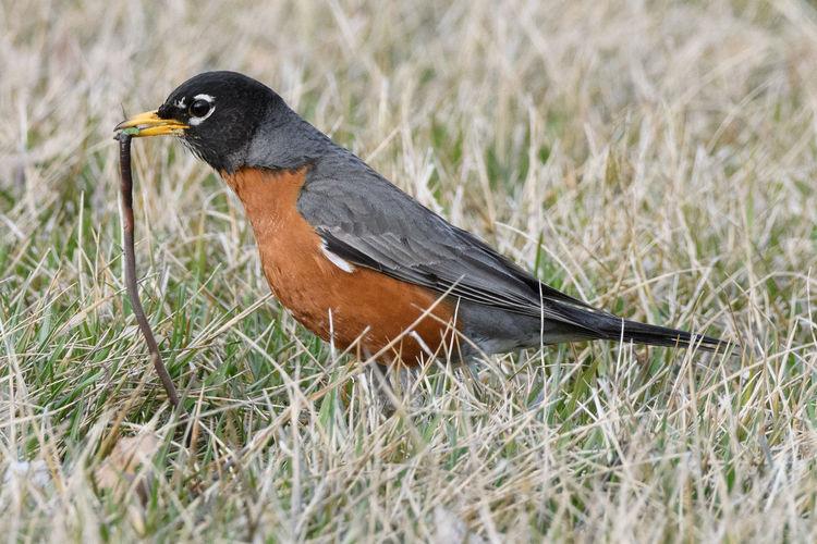 Bird eating earthworm on grass