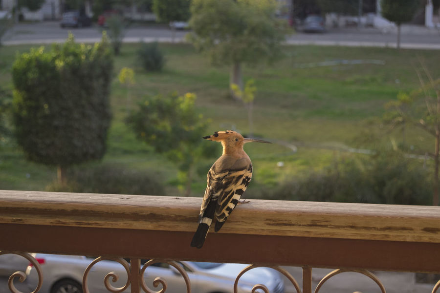 This guy was in my balcony <3 Animal Themes Bird Close-up Day Hoopoe Hoopoe Bird Nature No People One Animal Outdoor Photography Outdoors