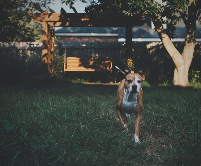 Boxer running on grassy field