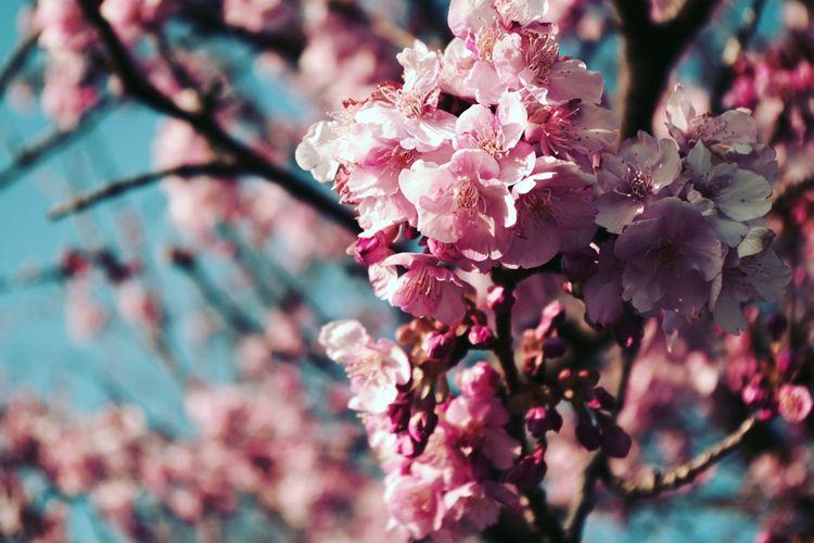 さくら 桜 Blossom 春