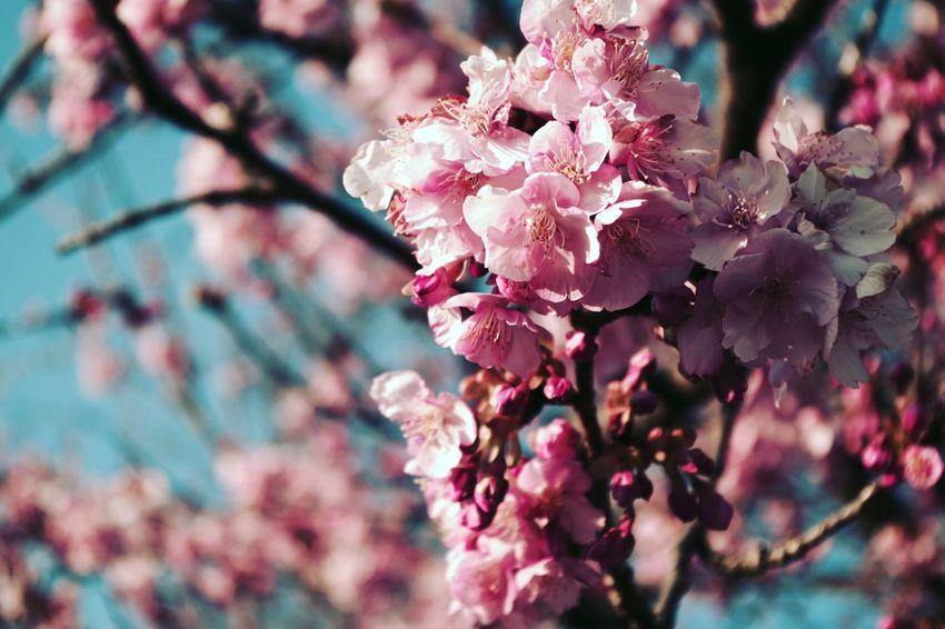 さくら 桜 Blossom 春 Springtime