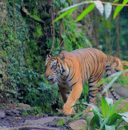 The Sumatran Tiger.. Sumatera Tigers Sumatran Tiger Zoo Animals  One Animal Animals In The Wild Animal Wildlife Animal Themes Day Nature Tiger EyeEmNewHere
