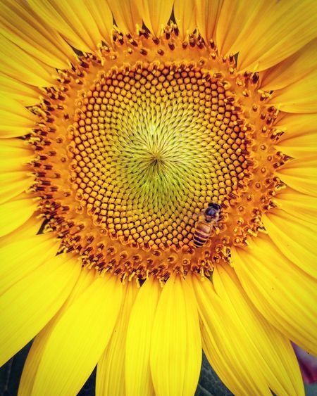 Sommergefühle Flower Beautiful ♥ TheWeek On EyEem EyeEm Nature Lover EyeEm Selects EyeEm Flower Head Sunflower Fragility Yellow Freshness Concentric Pollen Plant EyeEmNewHere Be. Ready.