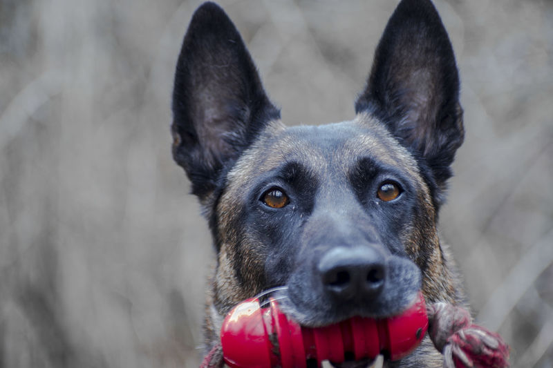 The dog with the red toy Nature Tier Tierfotografie Beauty In Nature Belgischer Schäferhund Close-up Domestic Animals Jola K9 Dogs Malinois Malinois Dog Malinoislover Natur No People Outdoors Pet